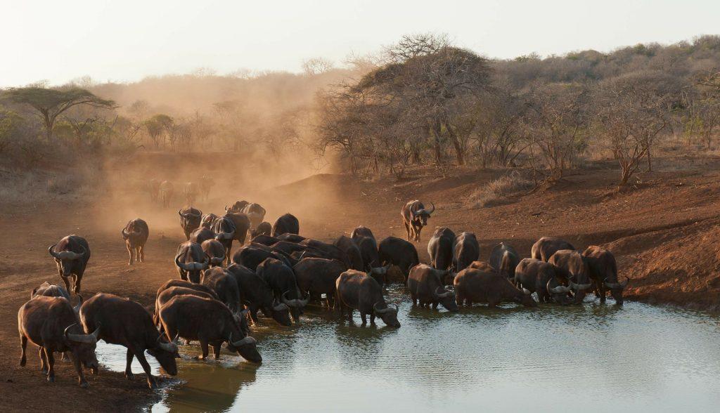 buffalo-235382_1920