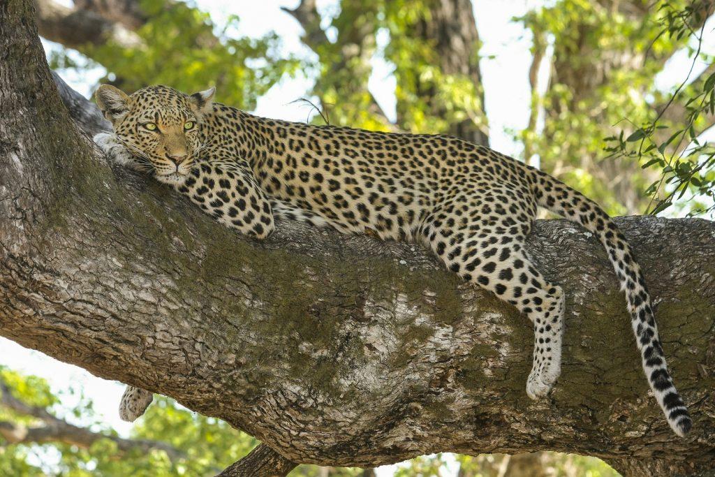 leopard-518210_1920