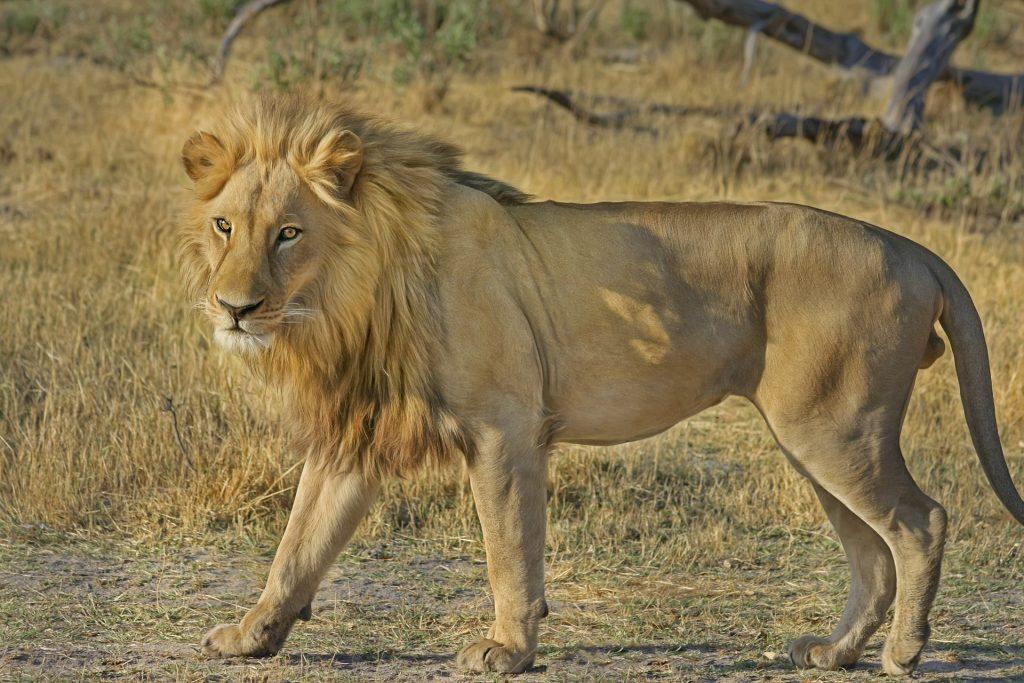 lion-515030_1920