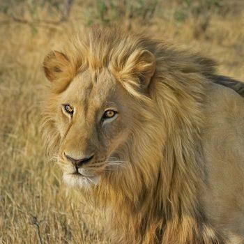 lion-image à la une