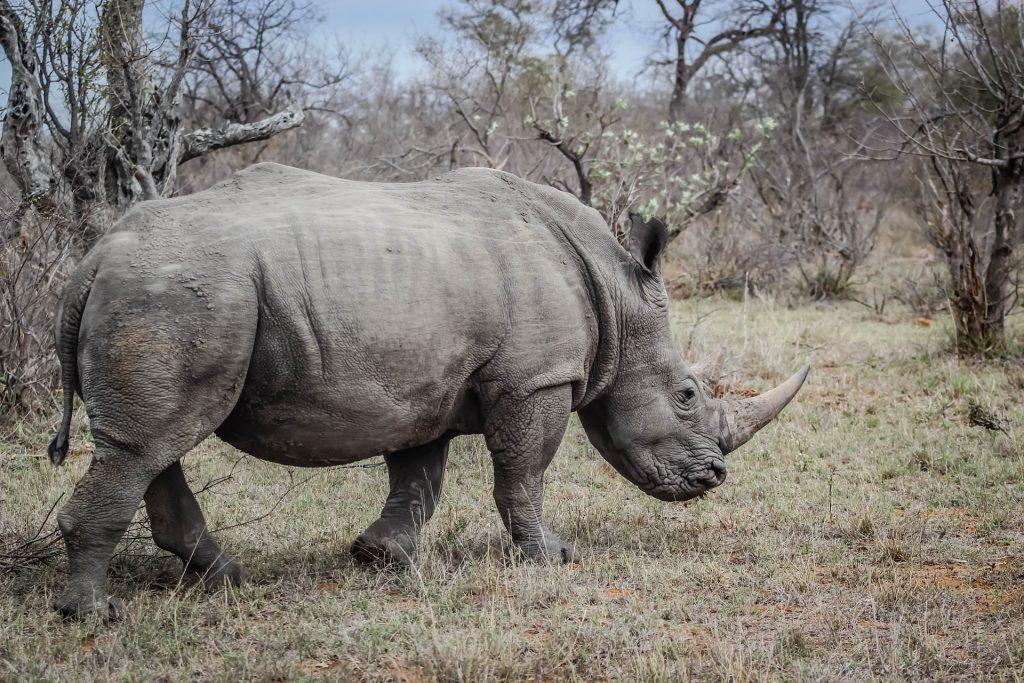 rhino-1285192_1920