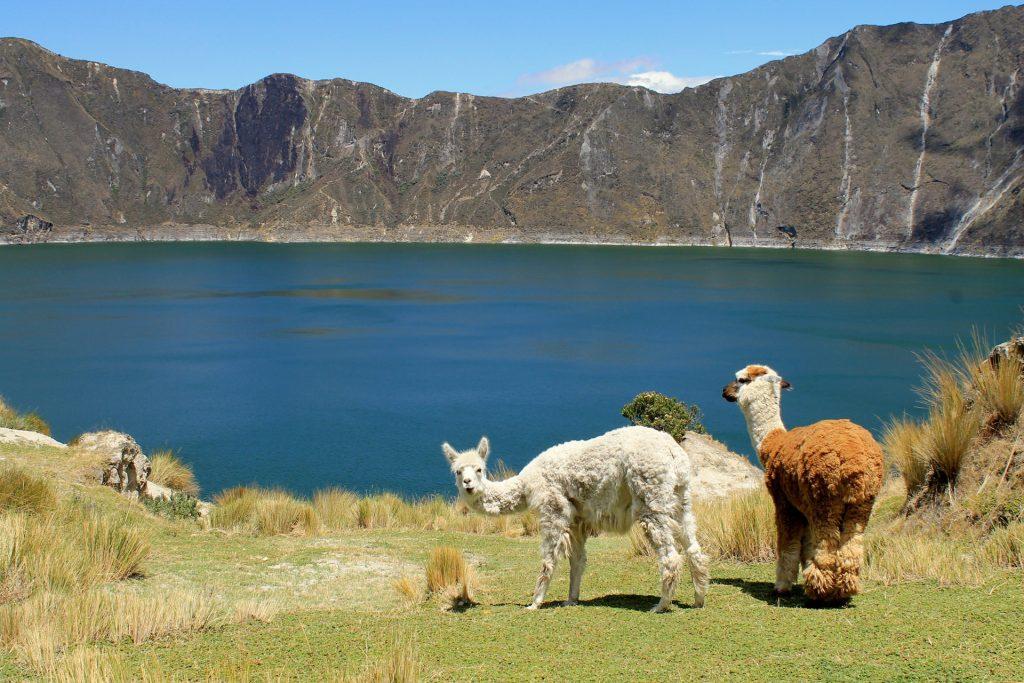 Lama, bolivie