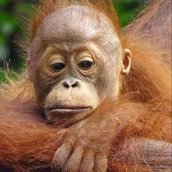 gros singe