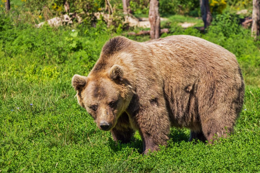 ours, Russie